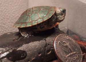 IMAGE(http://www.clowder.net/cats/Turtles/Slarty.jpg)